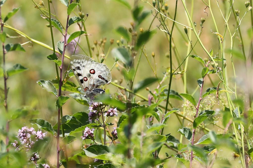 Mosel-Apollo (Parnassius apollo vinningensis)
