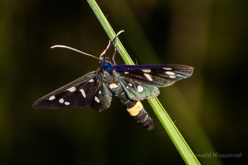 Weißfleck-Widderchen (Amata phegea)