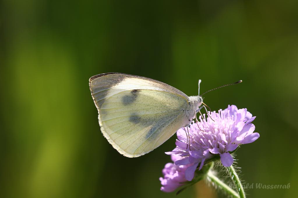 Weiblicher Großer Kohlweißling (Pieris brassicae)