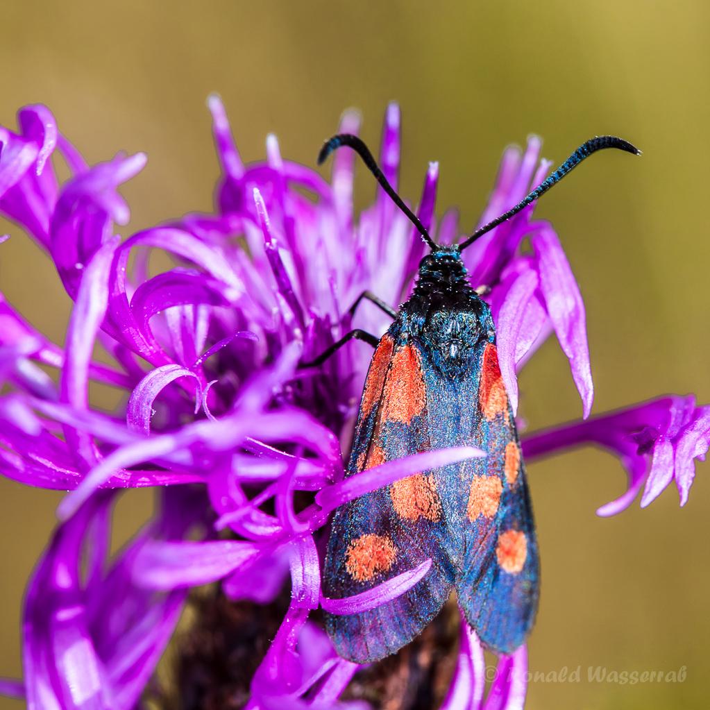 Blutströpfchen (Zygaenidae) auf einer Flockenblume