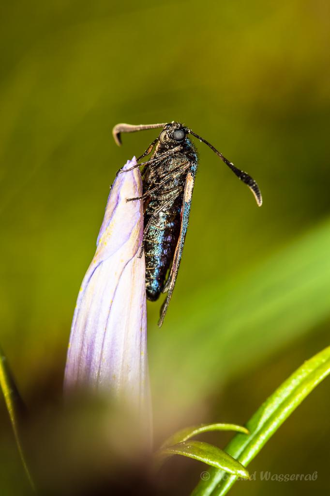 Geschlossener Lungenenzian (Gentiana pneumonanthe) mit Widderchen (Zygaenidae)