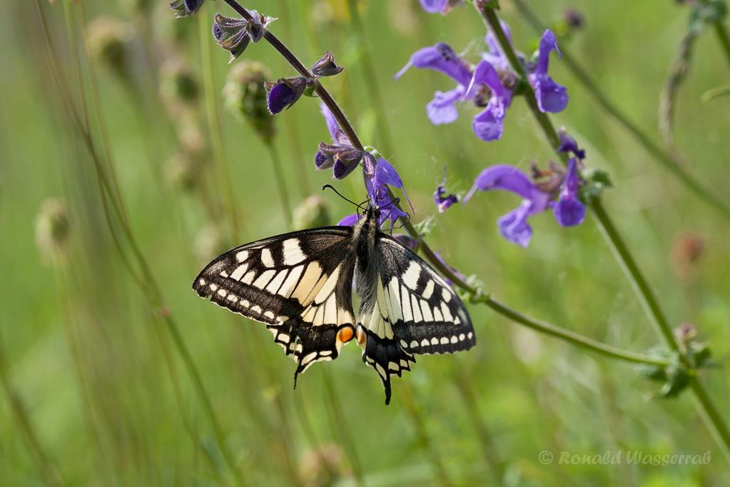 Schwalbenschwanz (Papilio machaon) an Wiesensalbei (Salvia pratensis)