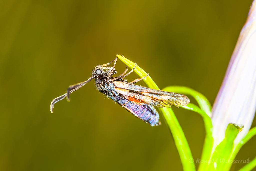 Turnendes Widderchen (Zygaenidae) auf Lungenenzian (Gentiana pneumonanthe)