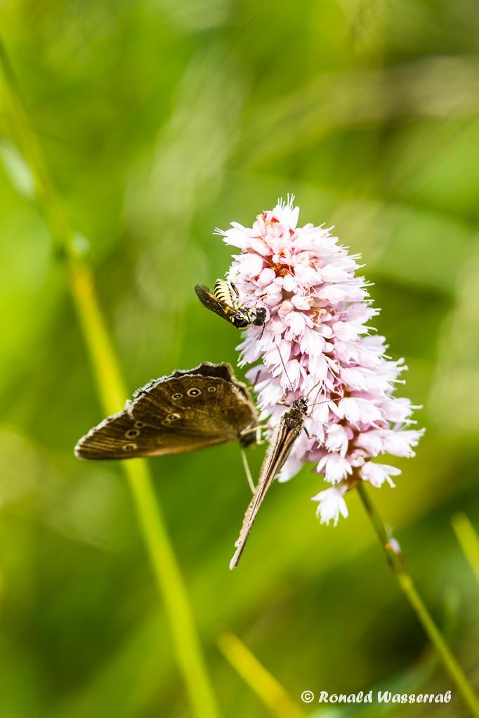 Wespe und Schmetterlinge (Brauner Waldvogel - Brauner Waldvogel - Aphantopus hyperantus)auf Schlangenknöterich