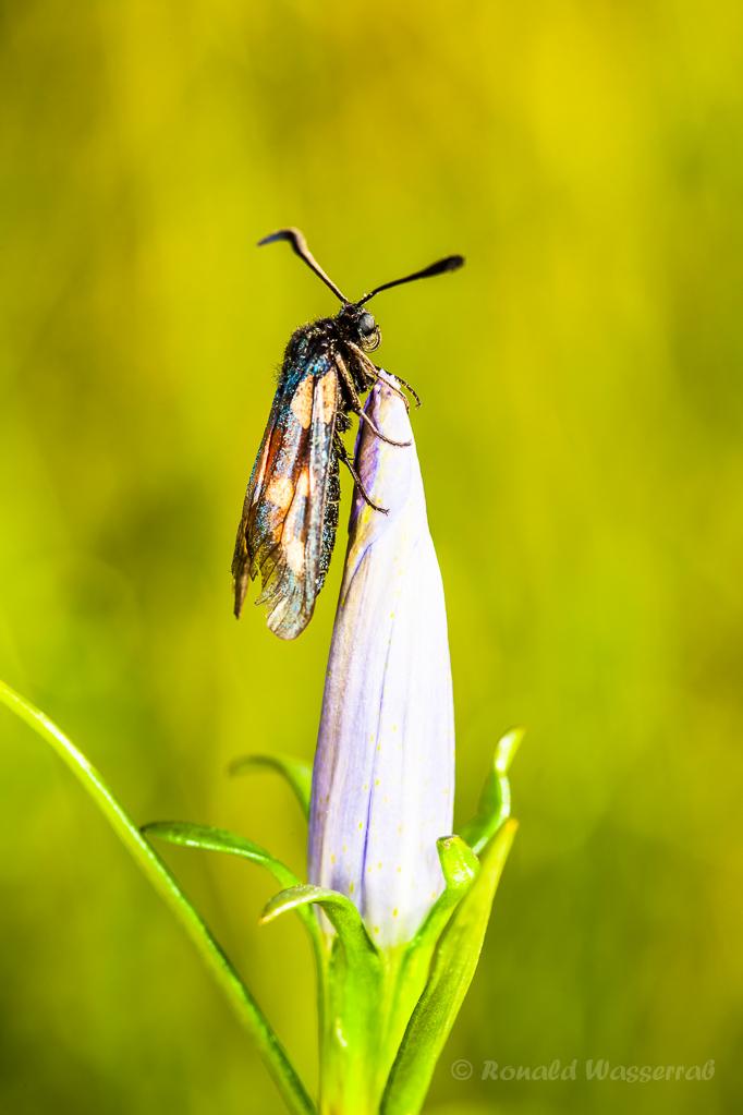 Widderchen (Zygaenidae) auf einer Lungenenzian-Blüte (Gentiana pneumonanthe)