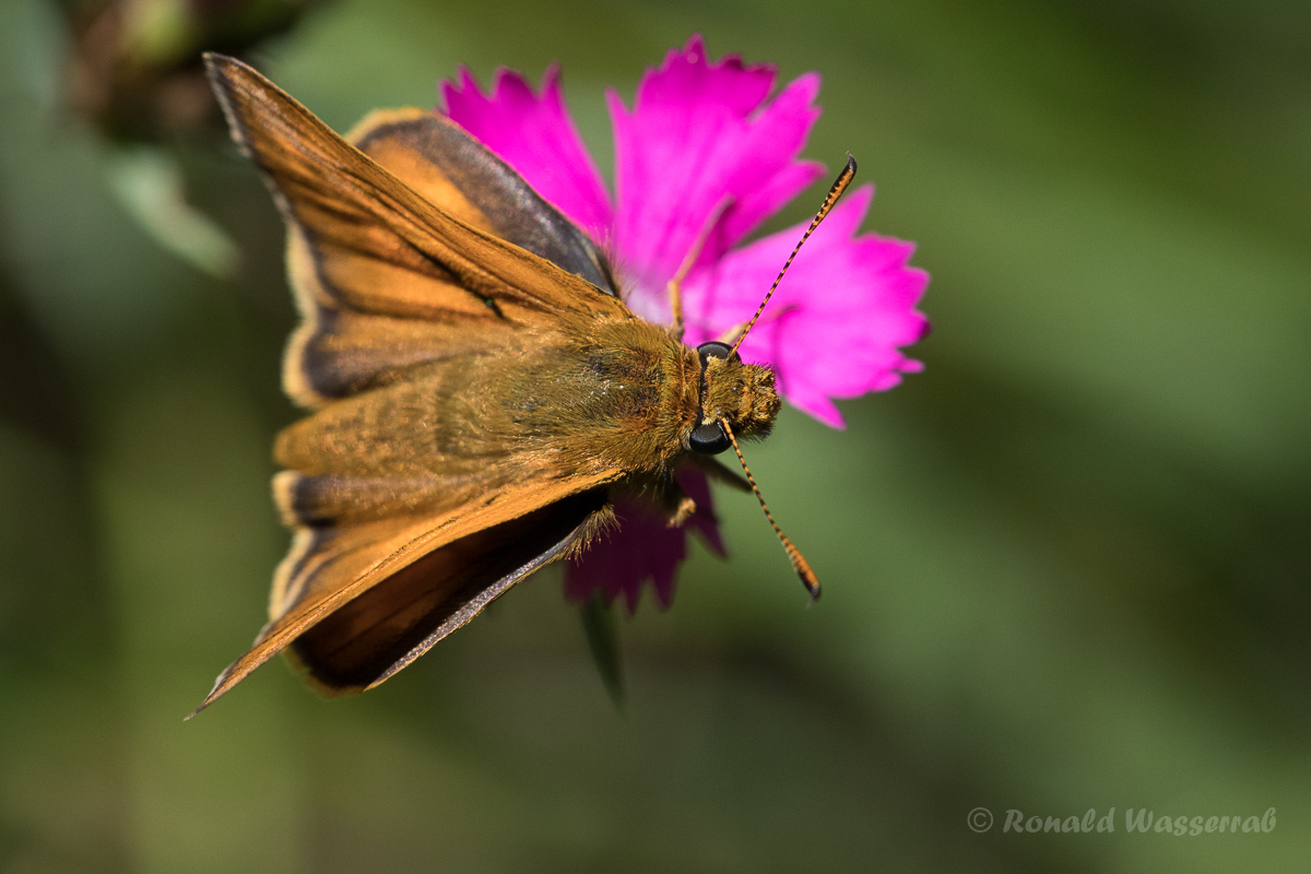 Braunkolbiger Braun-Dickkopffalter (Thymelicus sylvestris)