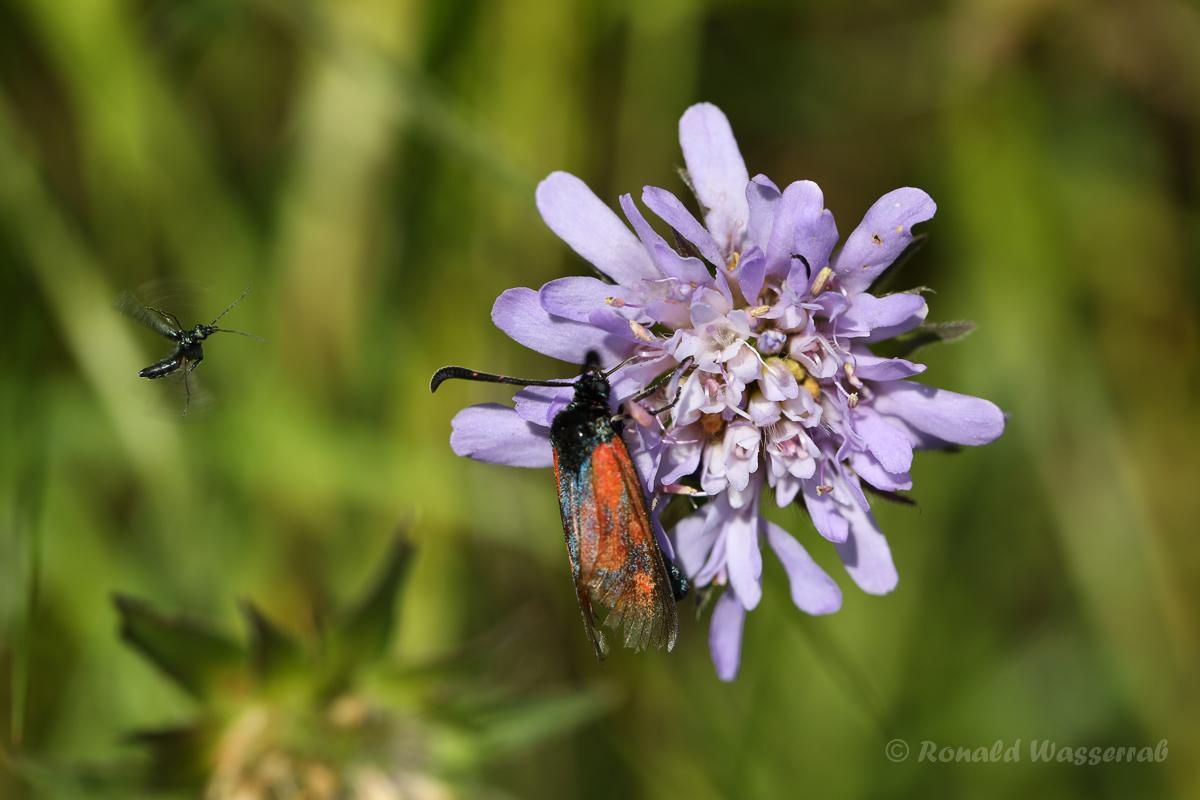 Widderchen (Zygaenidae)