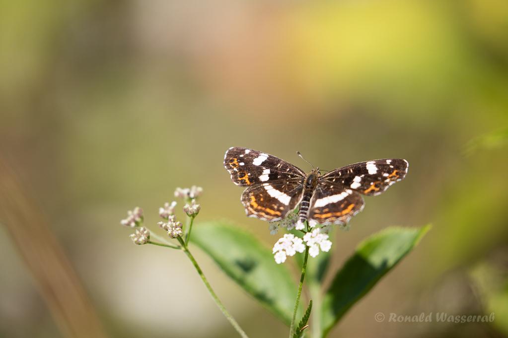 Landkärtchen  (Araschnia levana) (Sommergeneration)