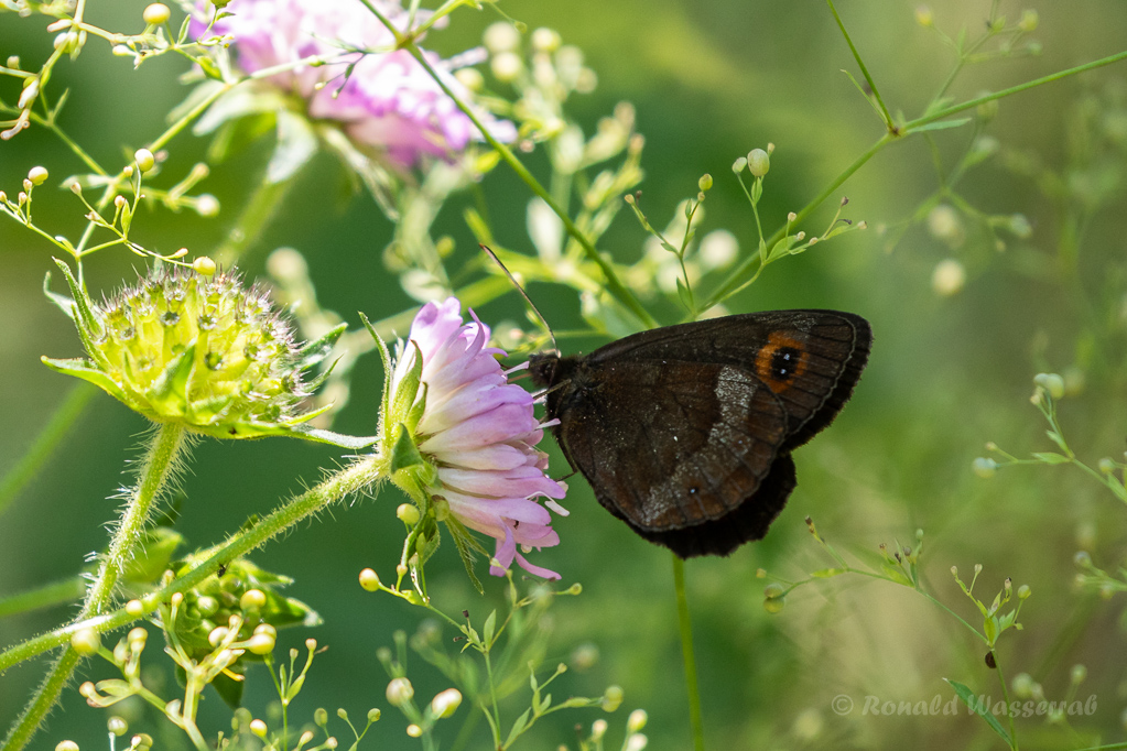 Graubindiger Mohrenfalter (Erebia aethiops)