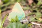 Brombeer-Zipfelfalter (Callophrys rubi)