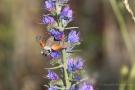 Taubenschwänzchen (Macroglossum stellatarum) an Natternkopf