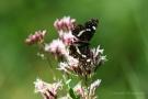 Landkärtchenfalter (Sommergeneration) (Araschnia levana f. prorsa)