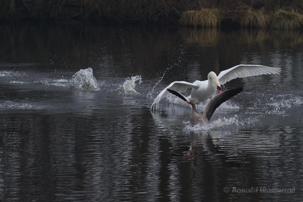 Höckerschwan (Cygnus olor) jagd Graugans (Anser anser) am De Wittsee