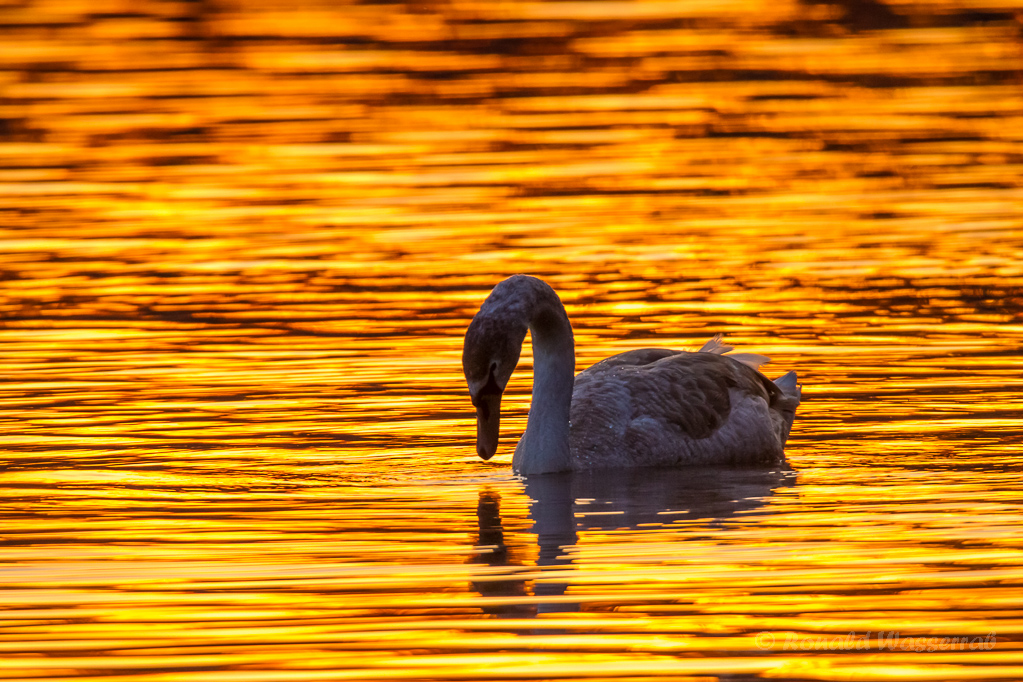 Höckerschwan (Cygnus olor) im Sonnenuntergang
