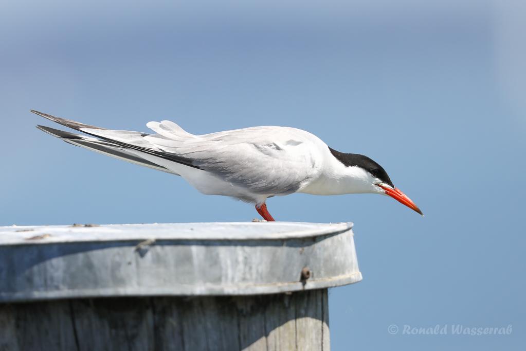 Flussseeschwalbe (Sterna hirundo) in Moos