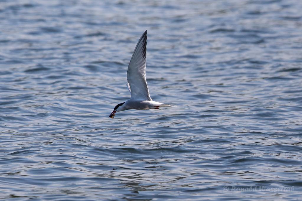 Flussseeschwalbe (Sterna hirundo) mit Beute
