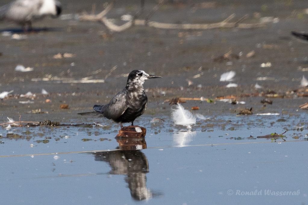 Trauerseeschwalbe (Chlidonias niger) am rechten Rheindamm