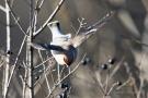 Fliegender Seidenschwanz (Bombycilla garrulus)