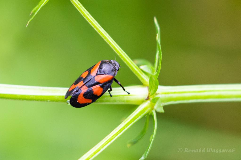Gemeine Blutzikade (Cercopis sanguinolenta)