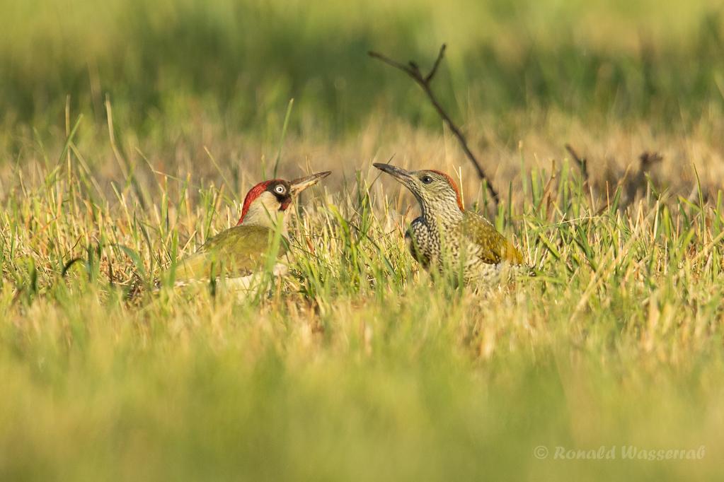 Grünspecht-Männchen mit Jungvogel
