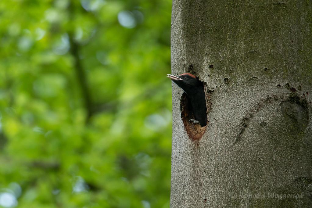 Junges Schwarzspecht-Männchen schaut aus Bruthöhle