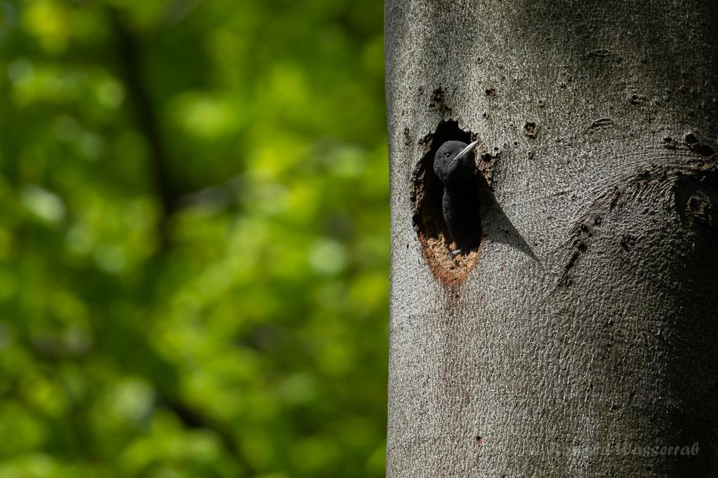Junges Schwarzspecht-Weibchen schaut aus Bruthöhle