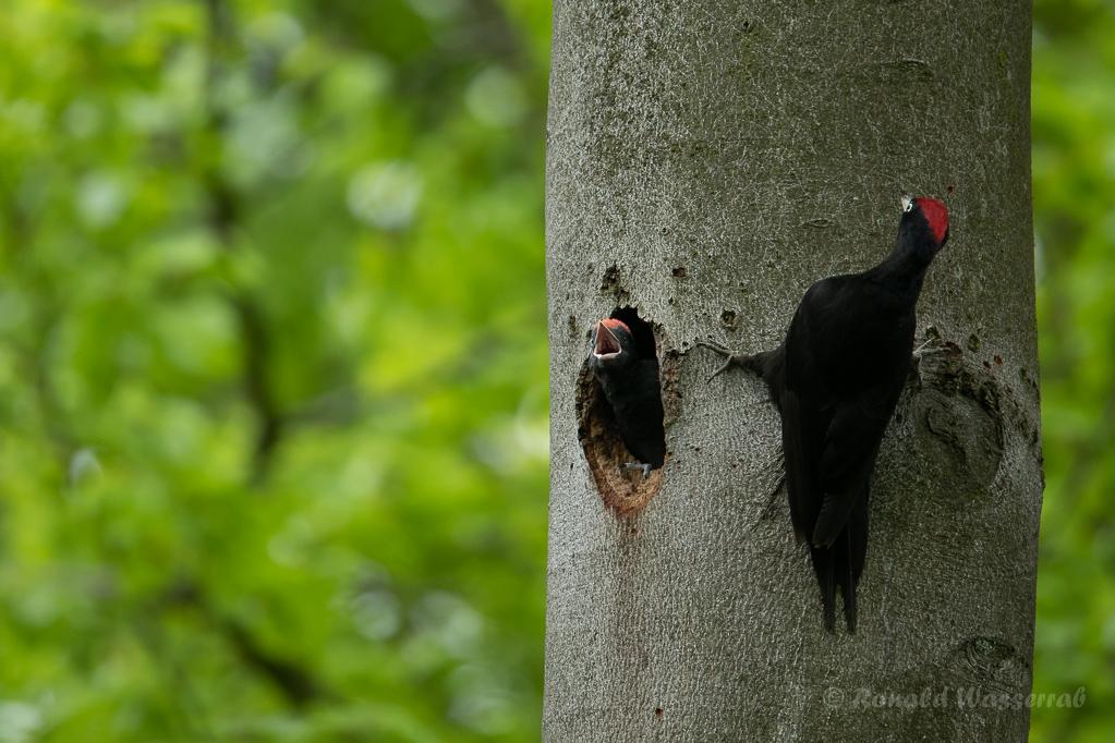 Fütterung des jungen Schwarzspecht-Männchens
