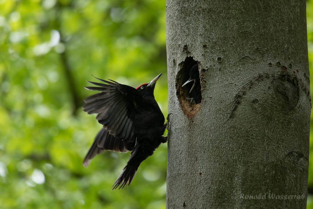 Fütterung des jungen Schwarzspecht-Weibchens