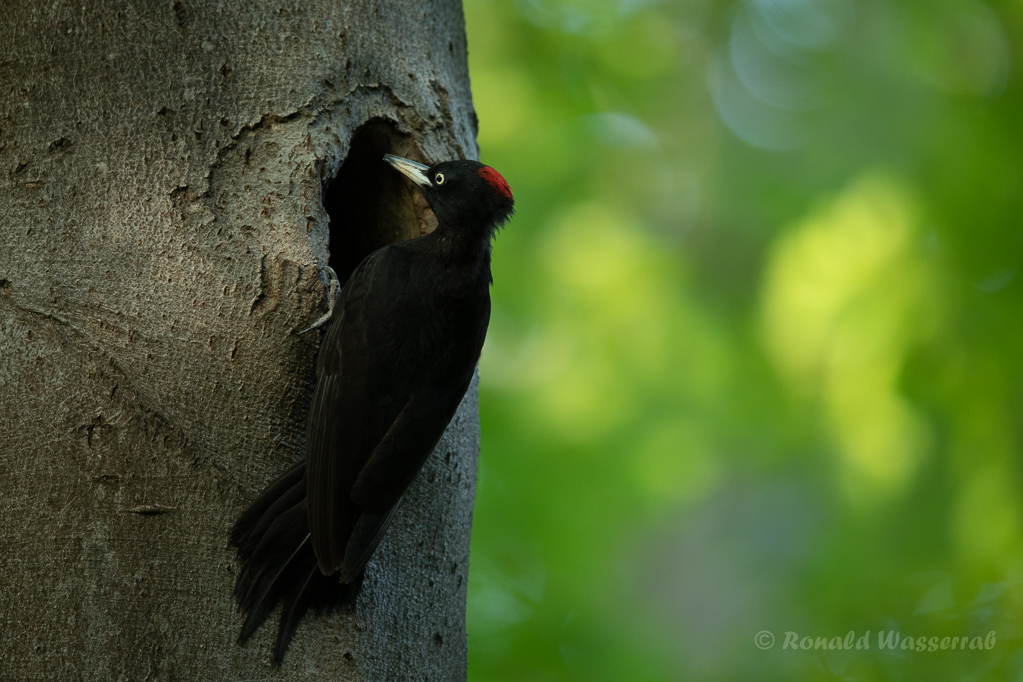 Schwarzspecht-Weibchen