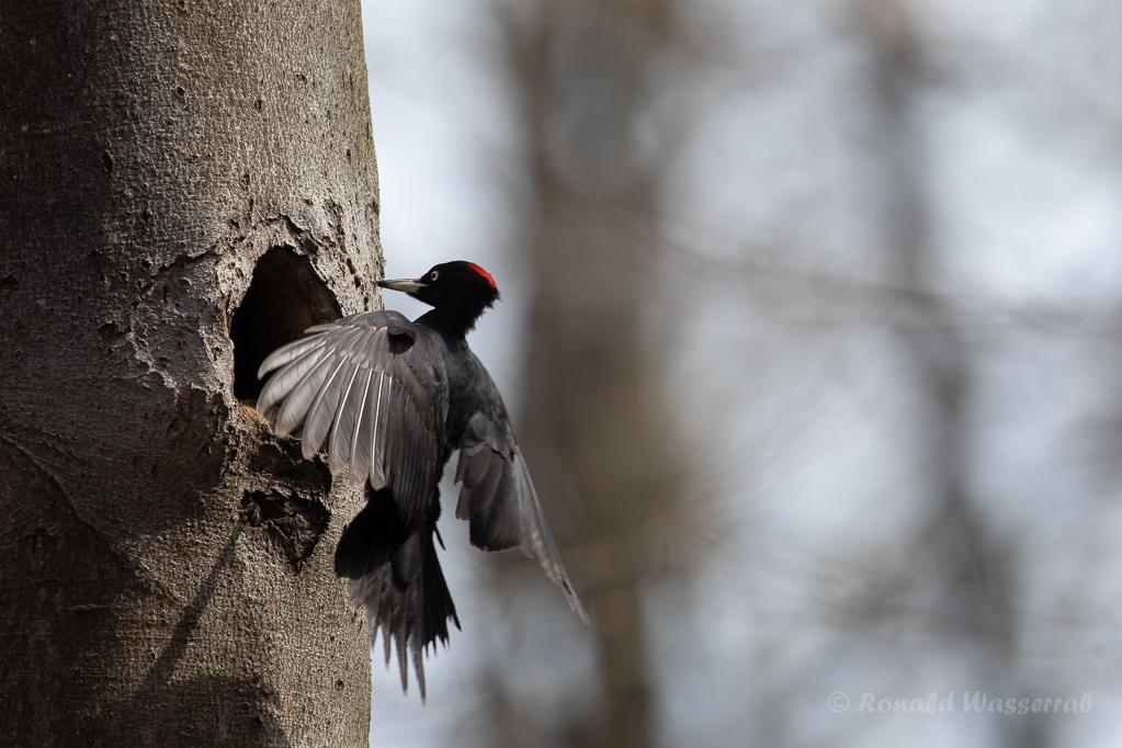 Anflug des Schwarzspecht-Weibchens