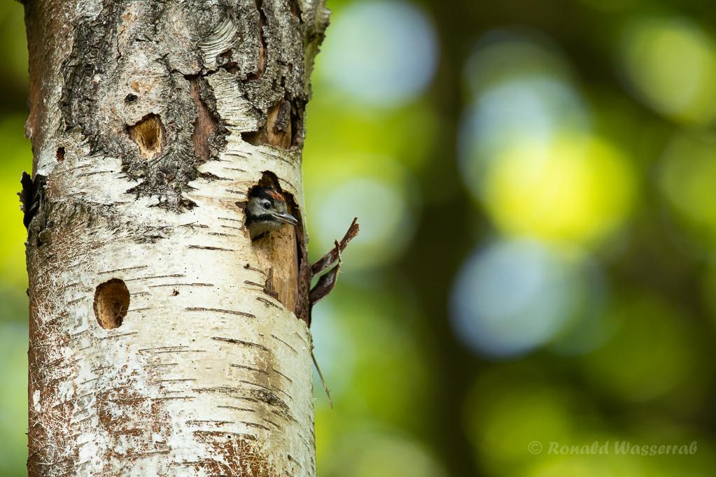 Buntspecht-Nestling