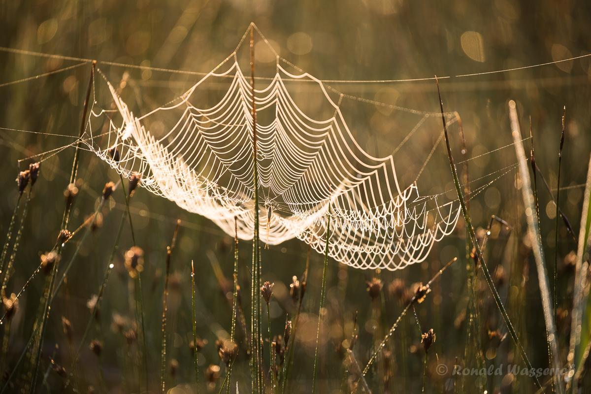 Netz der Gemeinen Streckerspinne (Tetragnatha extensa)