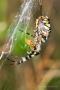 Wespenspinne (Argiope bruennichi) mit Beute