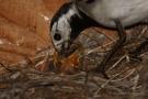 Bachstelze (Motacilla alba) beim Füttern des Nachwuchses