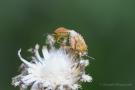 Codophila Varia bei der Paarung am Apolloweg