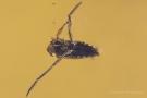 Gemeiner Rückenschwimmer (Notonecta glauca) mit Opfer