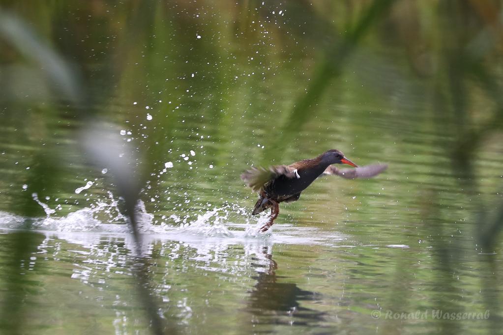 Wasserralle (Rallus aquaticus) am Klingnauer Stausee