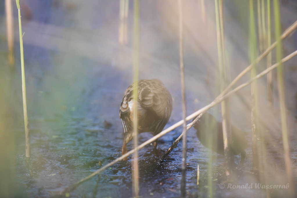 Wasserralle (Rallus aquaticus) mit Küken