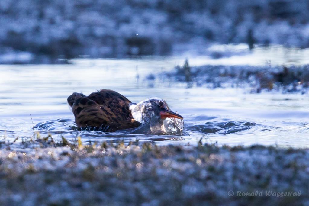 Badende Wasserralle (Rallus aquaticus) am rechten Rheindamm im Bodensee