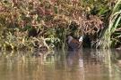 Wasserralle am Klingnauer Stausee