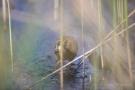 Wasserralle mit Küken
