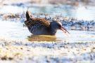 Wasserralle (Rallus aquaticus) am rechten Rheindamm im Bodensee