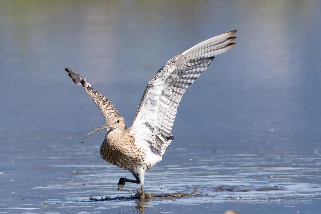 Großer Brachvogel (Numenius arquata) im Rheindelta an der Fußacher Bucht