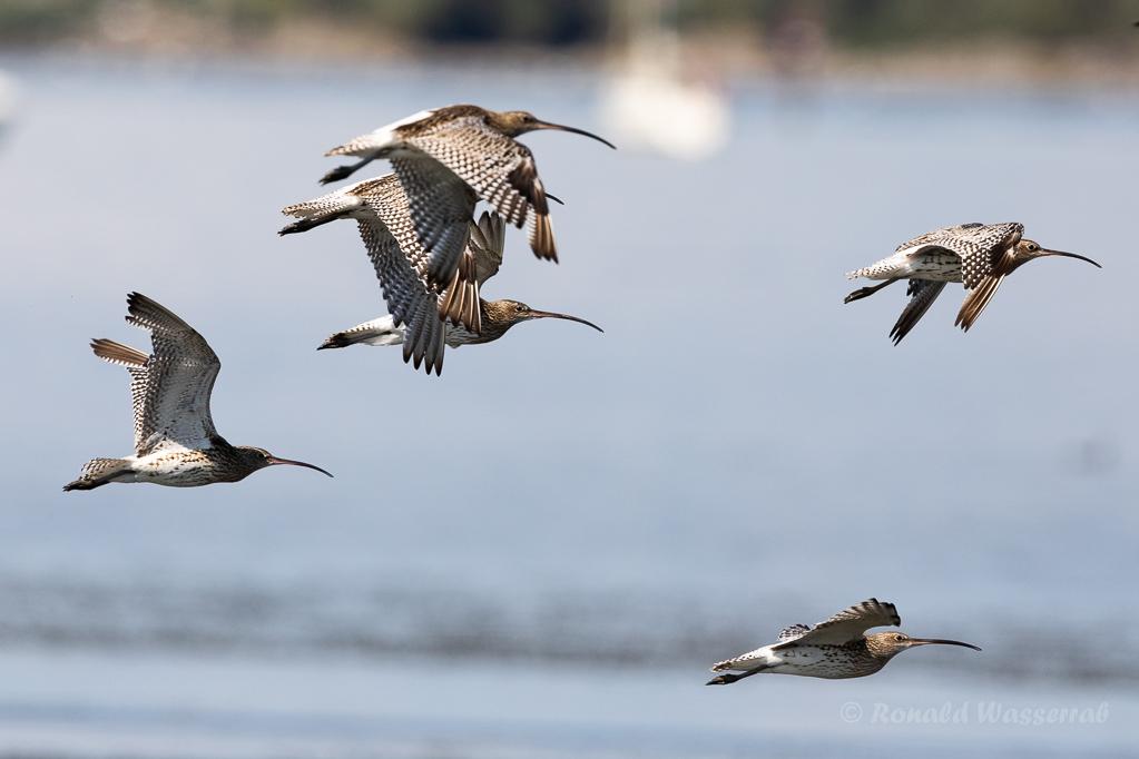 Große Brachvögel im Rheindelta an der Fußacher Bucht