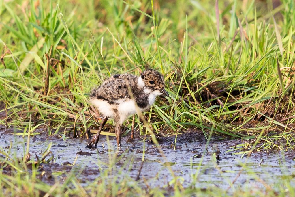 Kiebitzküken (Vanellus vanellus) im Ochsenmoor