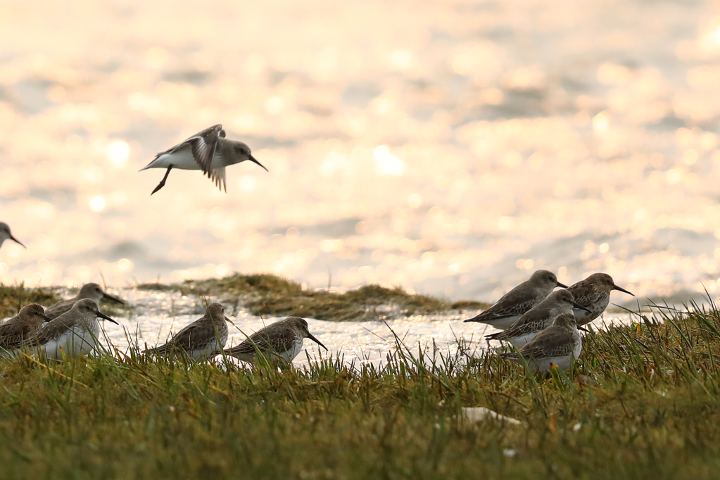 Alpenstrandläufer (Calidris alpina) bei Büsum