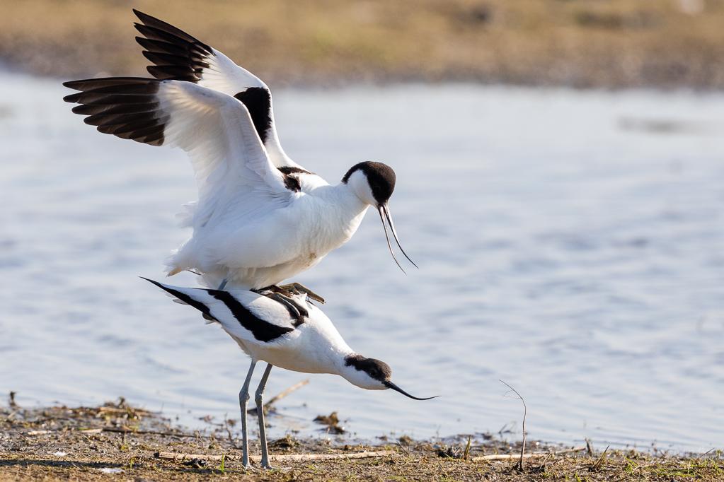 Säbelschnäbler-Paarung  (Recurvirostra avosetta)