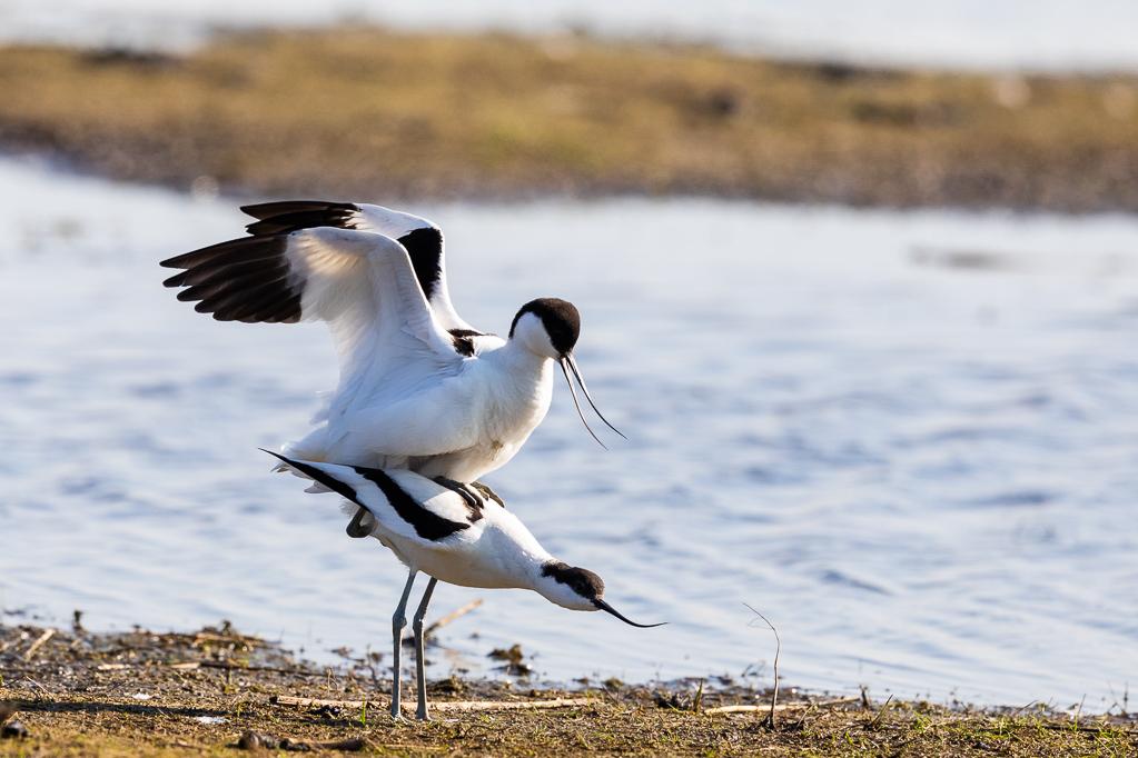 Säbelschnäbler-Paarung  (Recurvirostra avosetta)ng im Katinger Watt