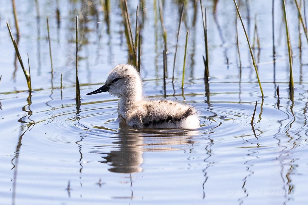 Säbelschnäblerküken (Recurvirostra avosetta)