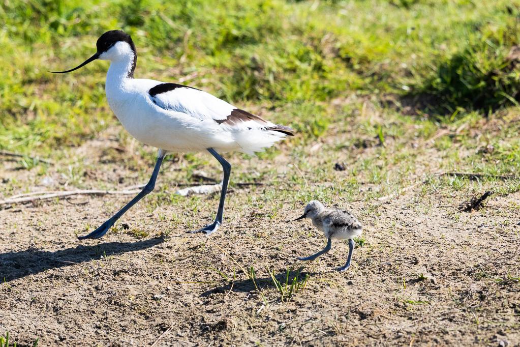 Säbelschnäbler (Recurvirostra avosetta) mit KükenngerWatt